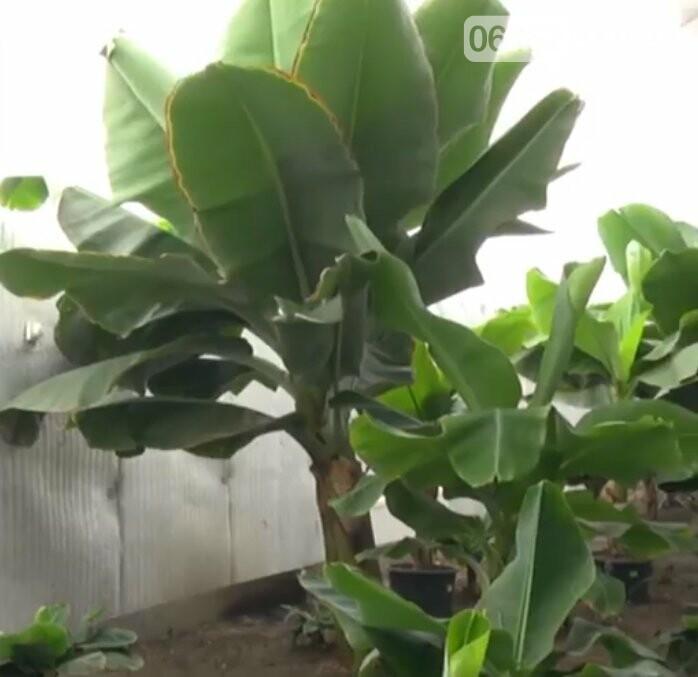 В Северодонецке выращивают экзотические фрукты, фото-2