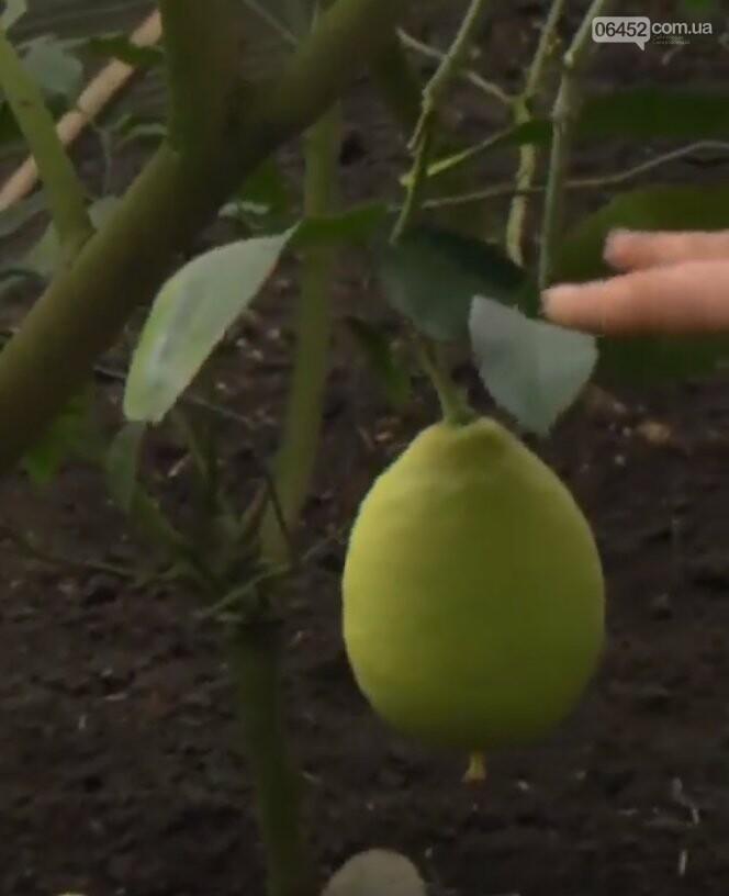 В Северодонецке выращивают экзотические фрукты, фото-3
