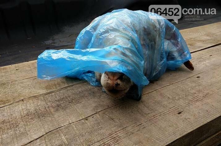 В Рубежном депутату в автомобиль подбросили голову барана (фото), фото-1