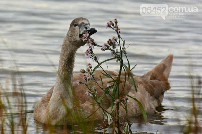 Накорми, но не навреди: чем можно угостить лебедей на Чистом озере?, фото-4