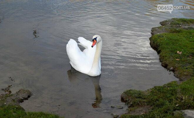 Накорми, но не навреди: чем можно угостить лебедей на Чистом озере?, фото-3
