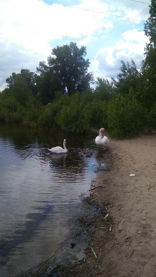 У лебедей на Чистом озере появилось потомство, фото-1