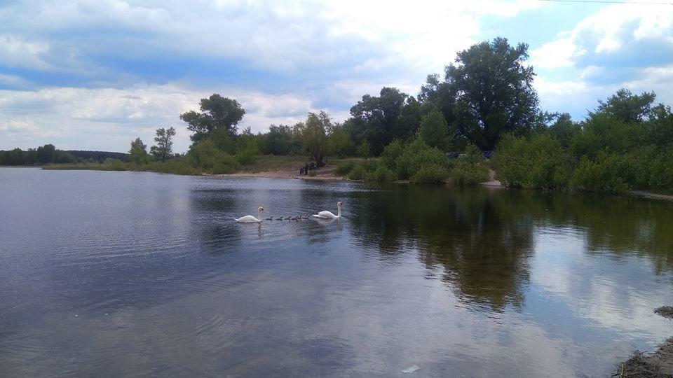 У лебедей на Чистом озере появилось потомство, фото-2