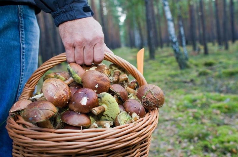 Грибной сезон: где, когда и как лучше собирать грибы, фото-1