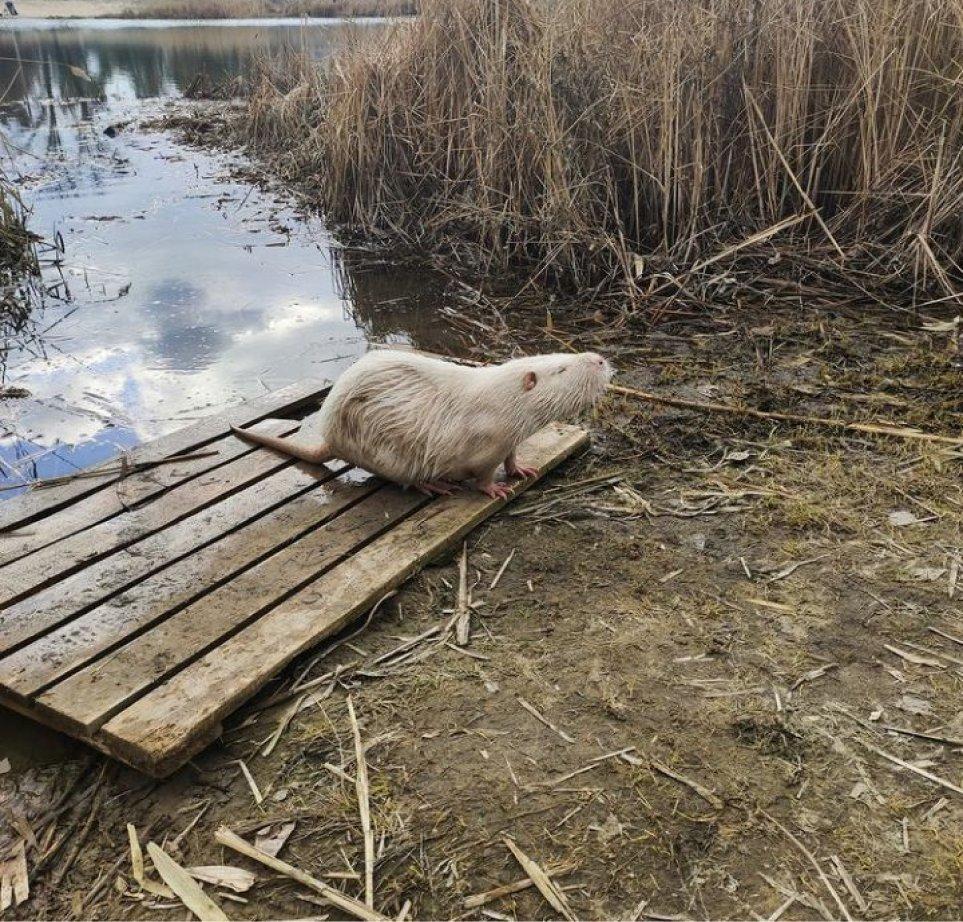 Нутрия на Парковом озере