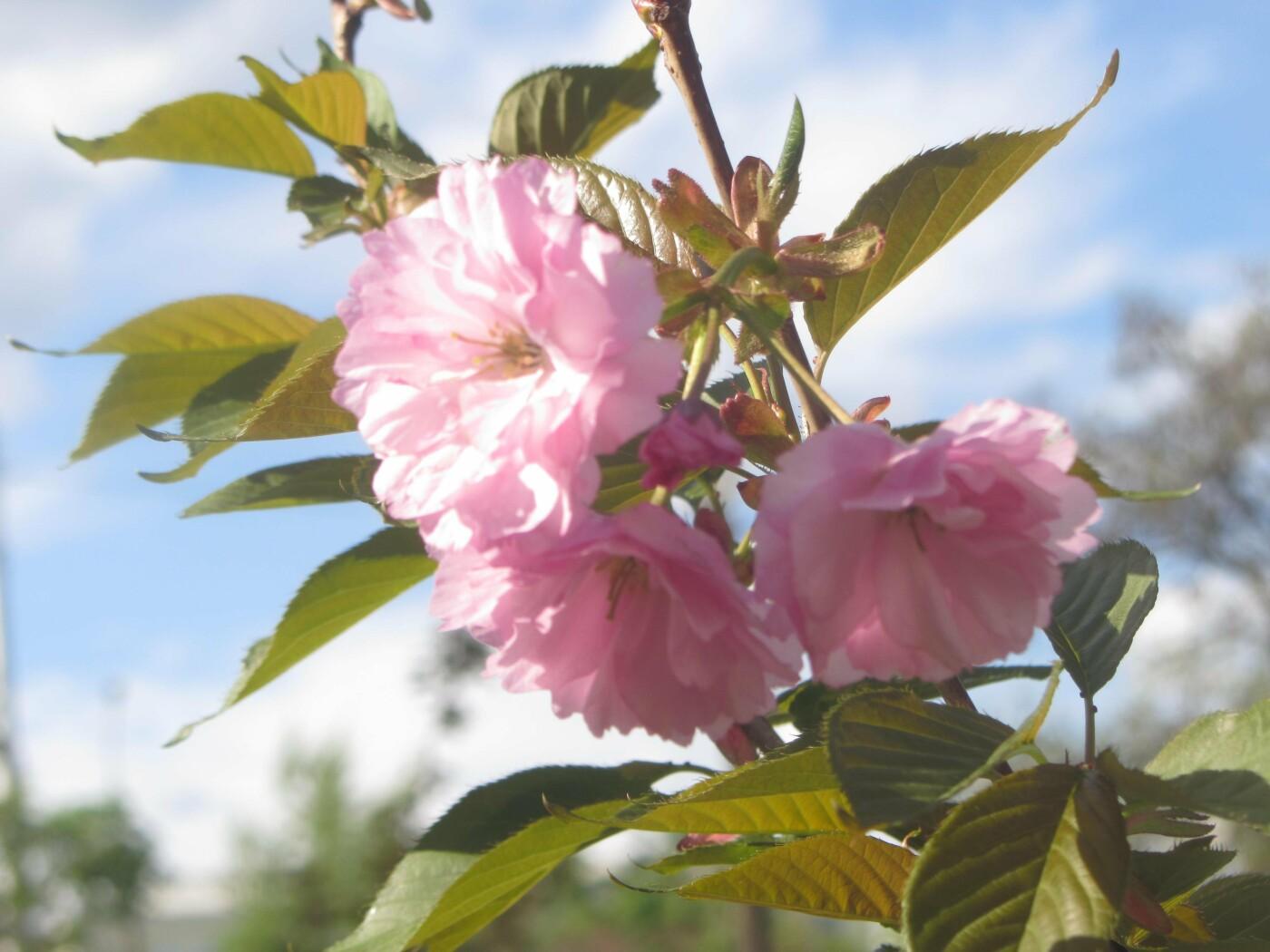 У Городского Дворца Культуры цветут сакуры, 06452.com.ua