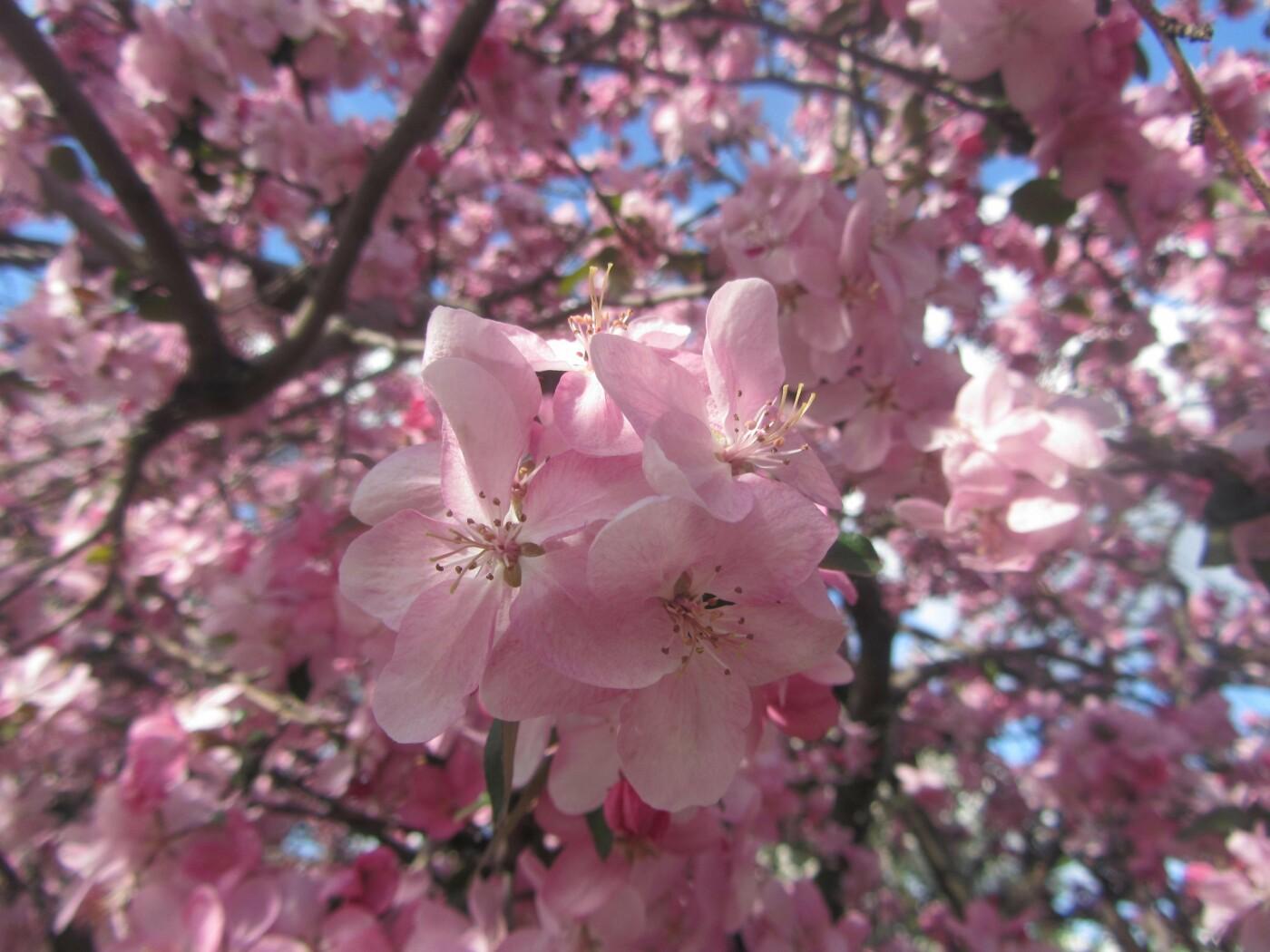 Полюбуйся: в Городском Дворце Культуры цветут японские сакуры (фото), фото-9
